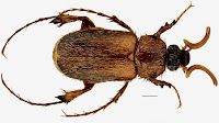A new species of Scarab Beetle from Hardap Province, Namibia.