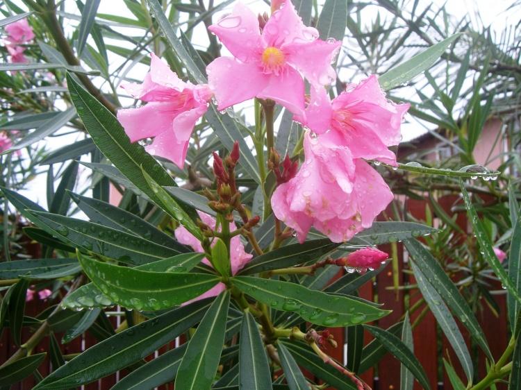 plantas toxicas jardim:Bicho do Mato – plantas tóxicas e animais perigosos: Plantas Tóxicas