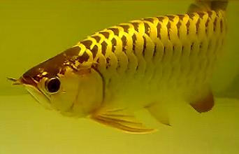 golden crossback arowana
