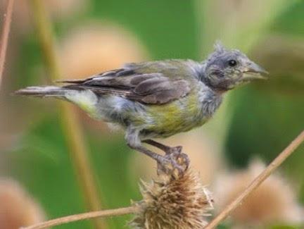 Gambar Cara Merawat Burung Ciblek Kebun