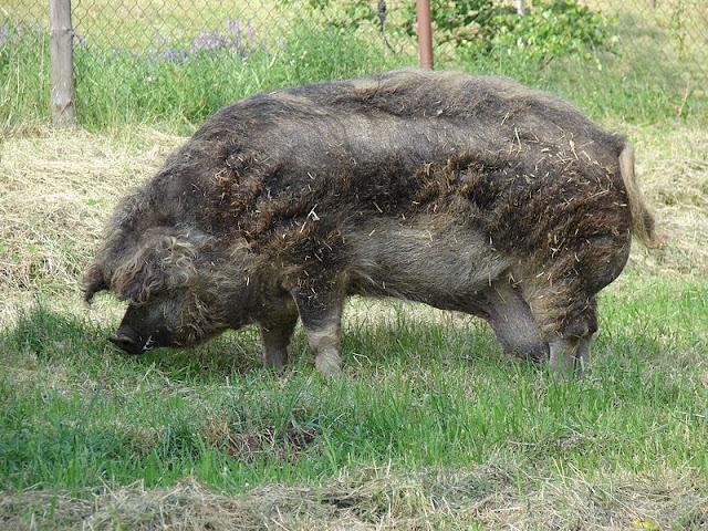 hybrid animal - mangalista