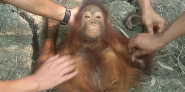 Avoid Fires, Baby Orangutan It Yourself to Save Oil Palm Plantations