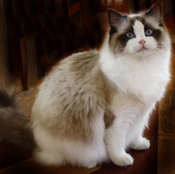 Health issues in Ragdoll Cats!