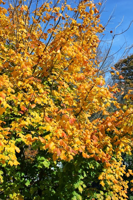 Swamp maples fall foliage