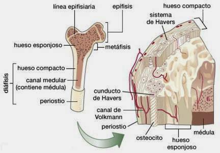 Sistema de Soporte ( Óseo)   Histología de los sistemas