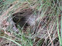wasp nest underground