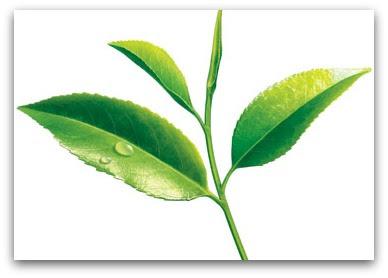 te-verde-hojas
