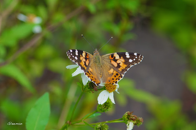 雞南山蝴蝶散步