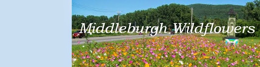 Middleburgh Wildflowers