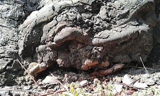 Ganoderma On Horse Chestnut - Aesculus hippocastanum