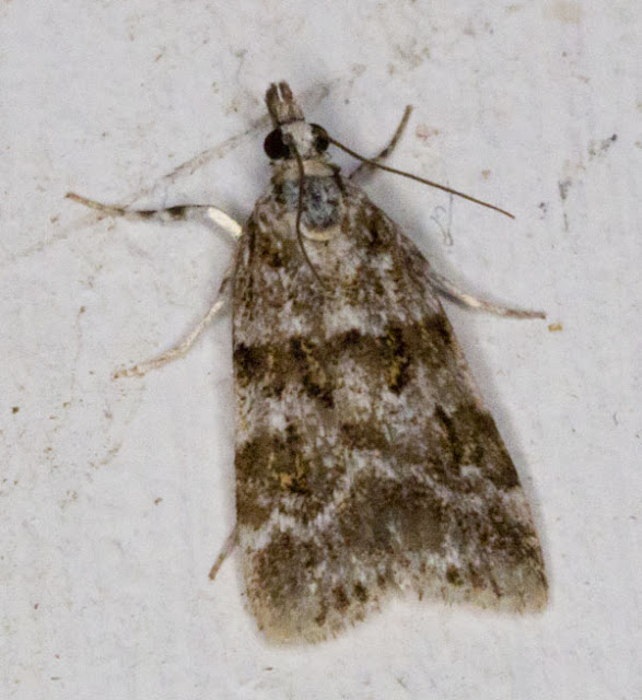 Scoparia ambigualis.  Keston Common moth trap, 2 July 2011.