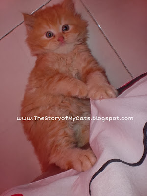 kucing red tabby