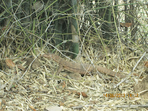 "Last wildlife sighting of the tour :- A ""Monitor Lizard"" photographed from our car."