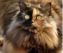 بالصور...القطة الاغرب في العالم - بوجهين - cat two face colors