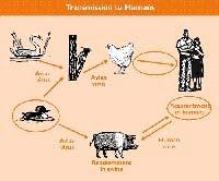 Flu Burung - Pengobatan dan Penularan