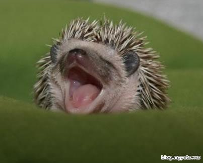 http://1.bp.blogspot.com/-nBspyYlrevM/TZOrkYlq_uI/AAAAAAAABfA/f1rpNhF9TZk/s1600/sleepy_hedgehog.jpg