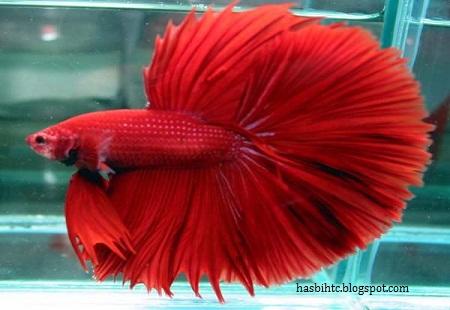 Mengenal Jenis Jenis Ikan Cupang