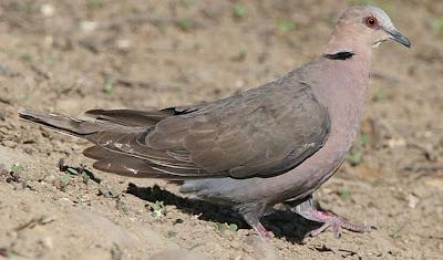 palomas del mundo tortola ojirroja Streptopelia semitorquata