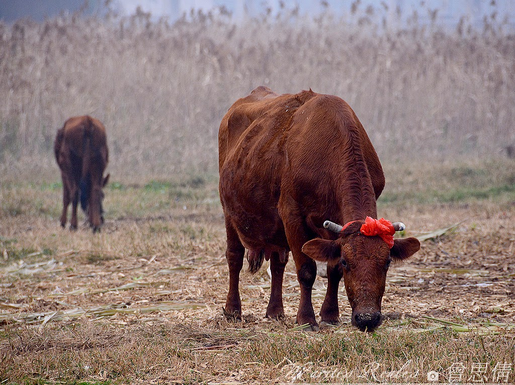 Cow With A Red Ribbon