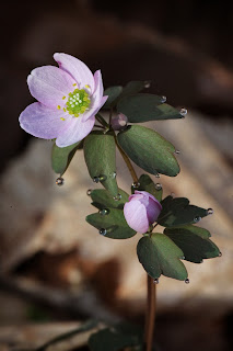 Rue Anemone, Lost Valley, 2012