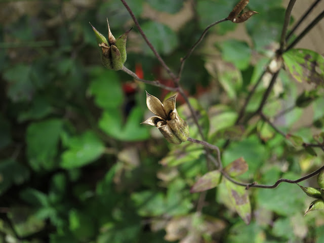 Aquilegia pod opening to release seeds