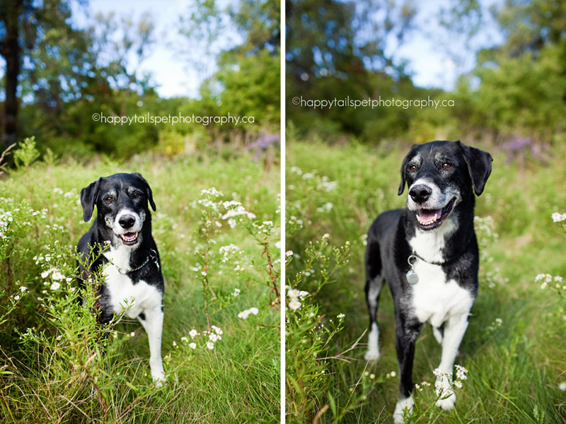 Black and white border collie/lab mix senior dog in the long grass in Burlington, Ontario park.