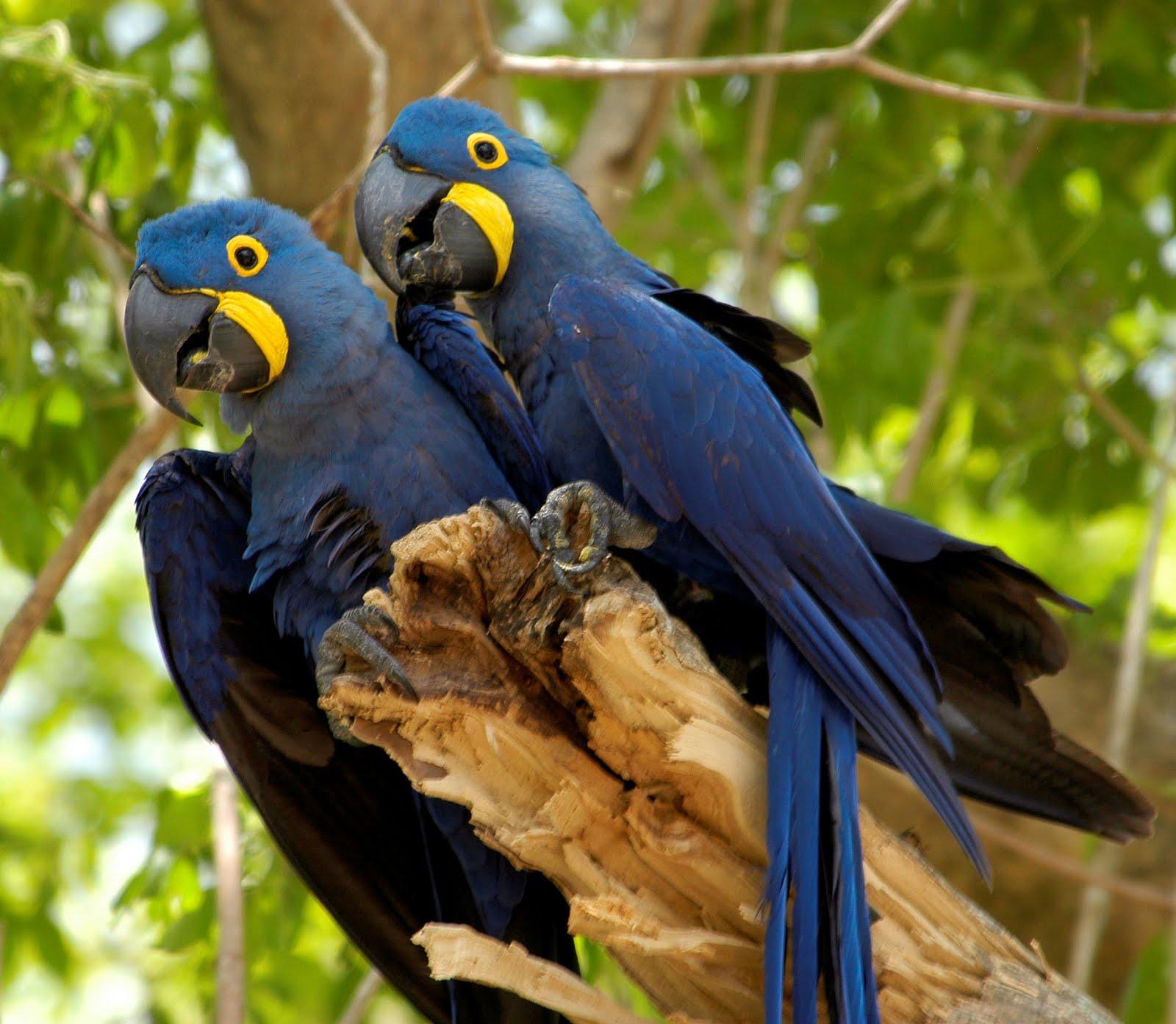 http://1.bp.blogspot.com/-nCu6IP5RWVc/TeT90Aj-_fI/AAAAAAAAABA/QH72ret-Y0o/s1600/arara-azul.jpg