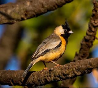 Mineirinho - Charitospiza eucosma - Coal-crested Finch. Foto: Geremias Pignaton