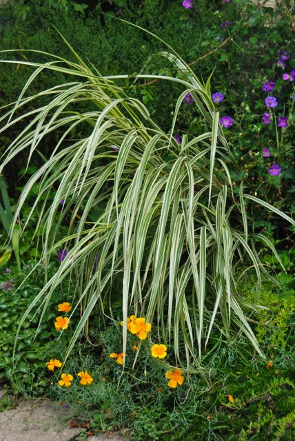 In the Driveway Garden, the dwarf Miscanthus 'Dixieland' is still making a splash with purple Geranium 'Rozanne' and orange California poppies (Eschscholzia californica).