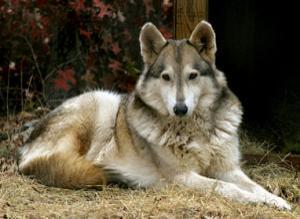 Wolfish Dog Names