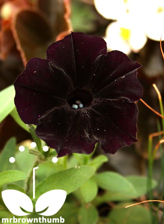 Petunia Debonair 'Black Cherry'