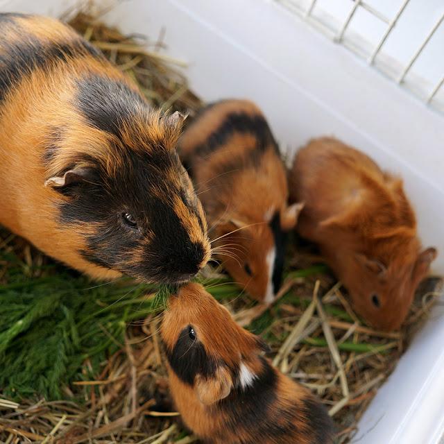 Маленькие морские свинки со взрослым самцом.