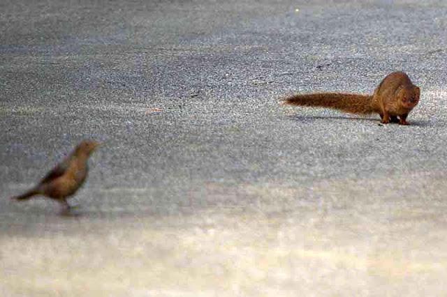mongoose, bird