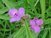 """Spiderwort or Tradescantia"""