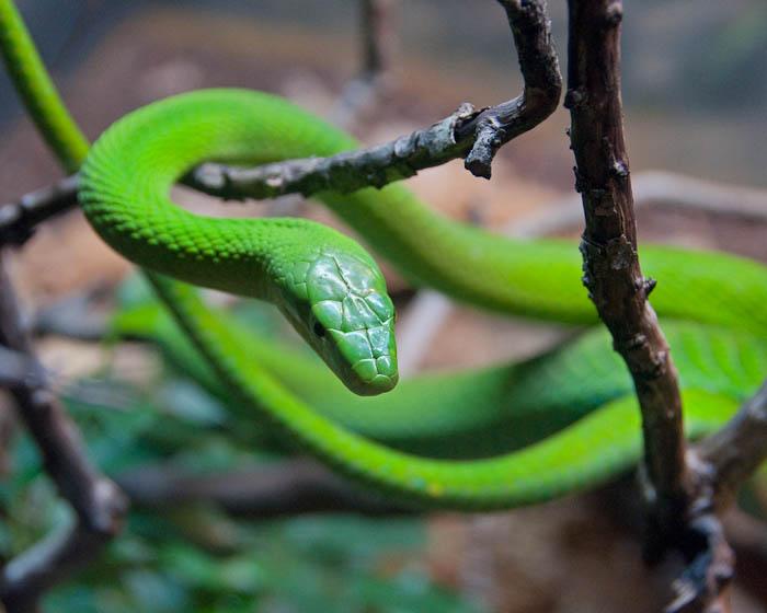 Green Mamba African Danggerous Snakes Planetanimalzone