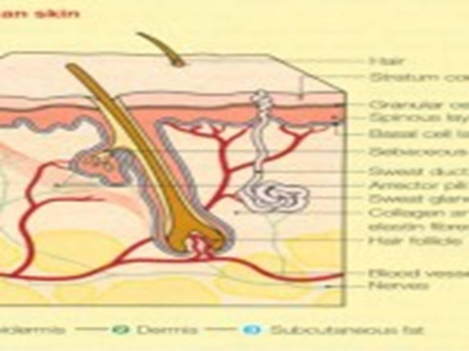 anatomi histology dan fisiologi dari kulit anatomi anatomi kulit