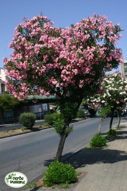 Luglio 2012 for Arbusti ad alberello