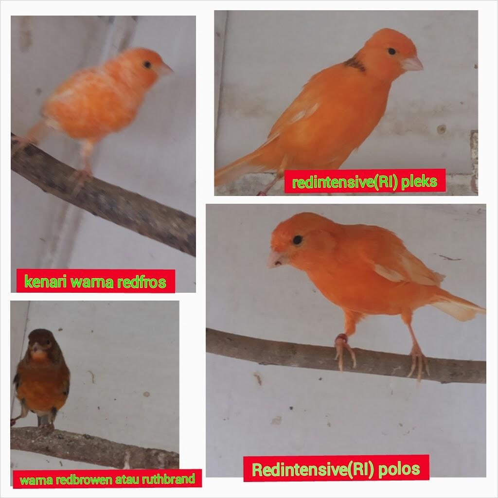 klasifikasi warna kenari merah