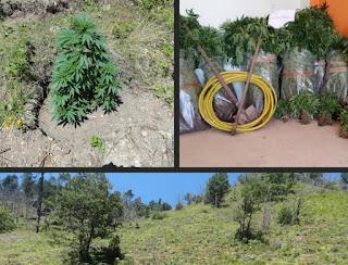 ΚΟΝΙΤΣΑ :Εντοπίστηκε μεγάλη φυτεία δενδρυλλίων κάνναβης κοντά στα ελληνοαλβανικά σύνορα