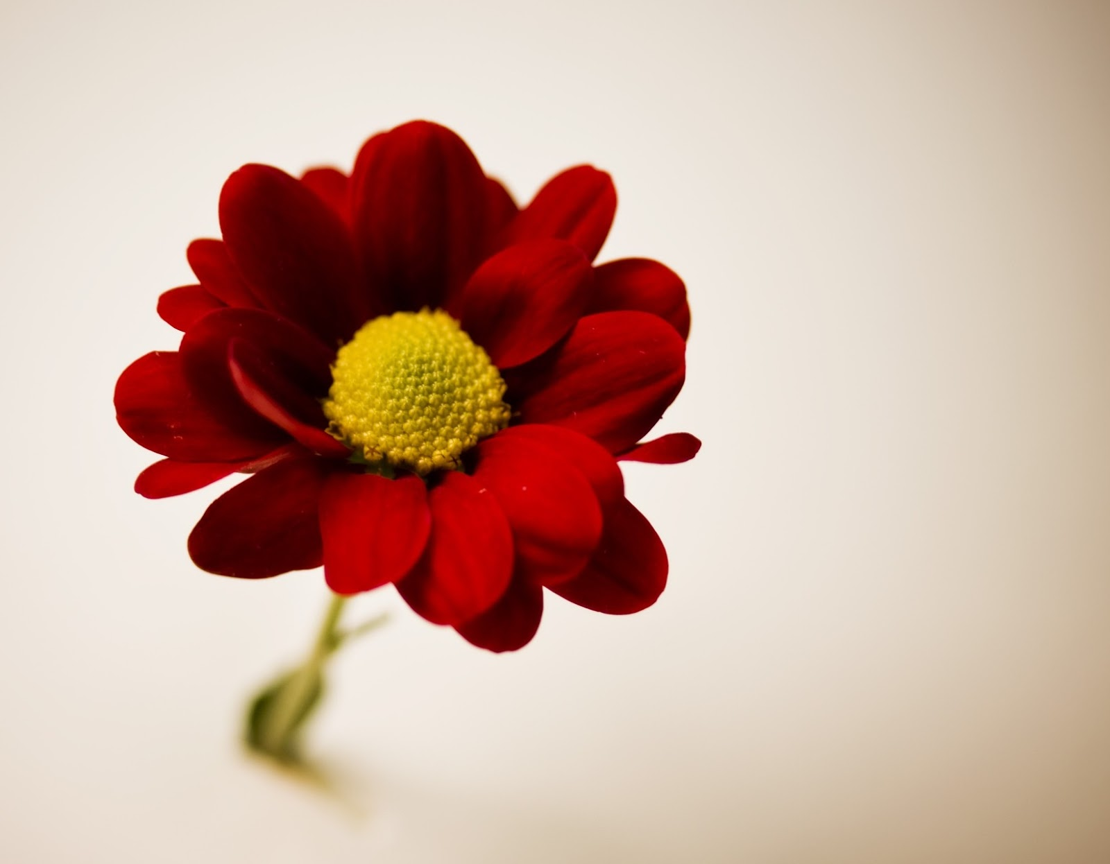 The Color Is Obviously Strongest Point Of Contrast Here Vibrant Red Hue Flower Against Lighter Tanner Background Brings Our Eye Right