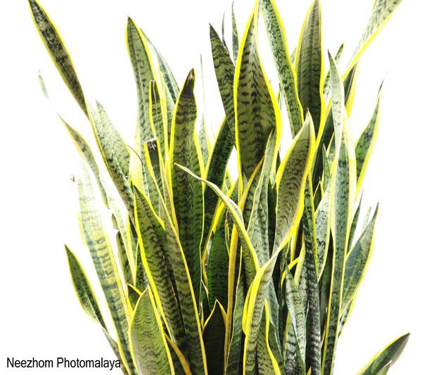 Sansevieria - Pokok Lidah Jin