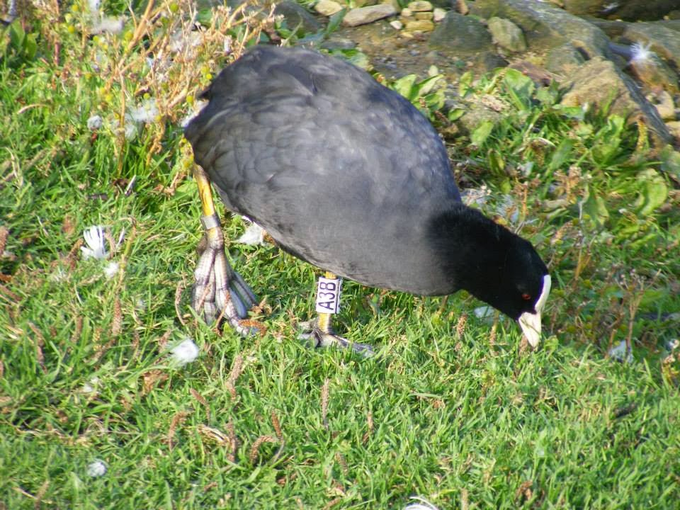 Any colour ringed coot sightings contact kanebrides'@'gmail.com