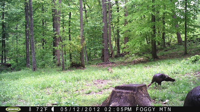 Gobblers feeding through a food plot shortly after legal shooting hours.