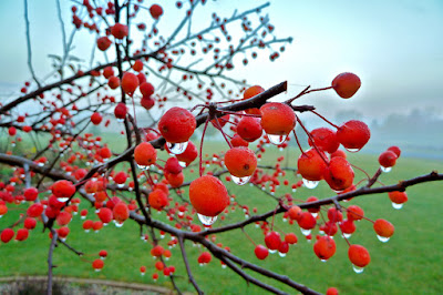 view of morning sparkle dew drops on the red berries of a tree