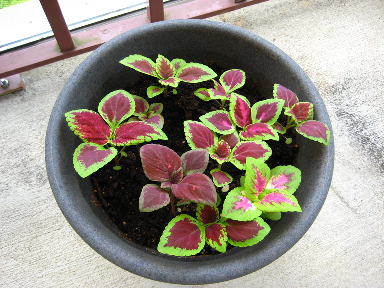Coleus Houseplants