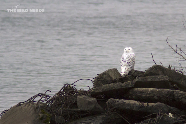 Snowy Owl perched in St. Catharines with Lake Ontario in the background