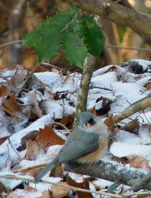 tufted titmouse in snow with holly