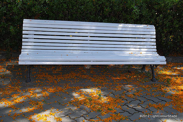 White bench amid falling yellow acacia flowers