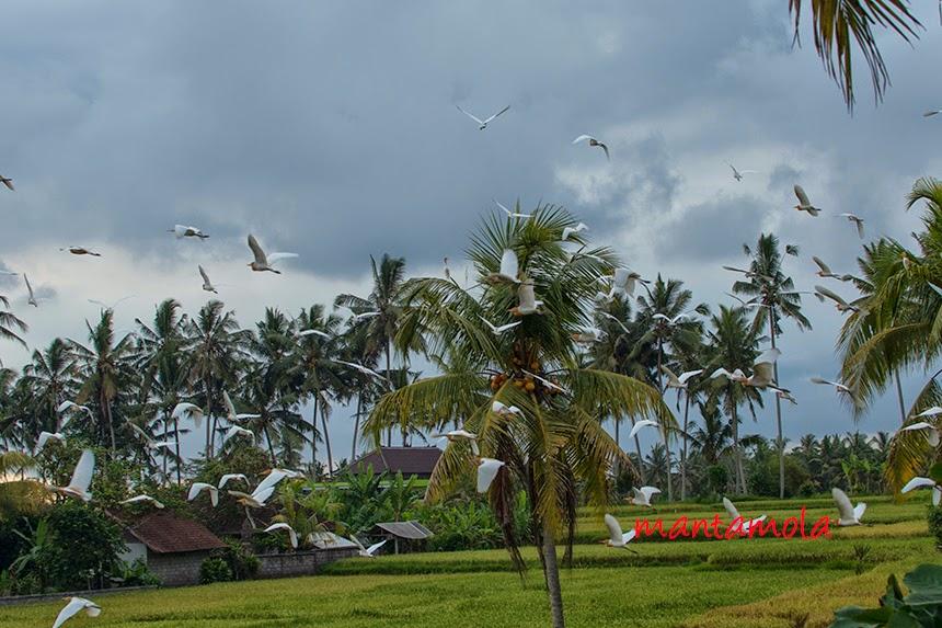Cattle egret, Bali, Petulu