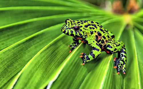 Una rana verde con manchas negras